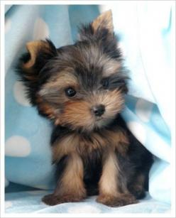 """Yorkie. (=^.^=) Thanks, Pinterest Pinners, for stopping by, viewing, re-pinning, & following my boards.  Have a beautiful day! ^..^ and """"Feel free to share on Pinterest ^..^   #catsandme #cats #dogs: I Want, Cute Animal, Cute Puppies, Sweet, Yorkie S,"""