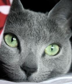 10 Russian Blue Cat Facts: Russian Blue Cats, Beautiful Cats Russian Blue, Hypoallergenic Cat, Cat Eyes, Russian Blues, Russian Blue Cat Fact, Cat Facts, Russianblue Cat, Russian Cat