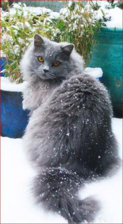 """""""It is with the approach of Winter that cats wear their richest fur, and display an attitude of sumptuous and delightful opulence."""" --Peter Loti: Highlander Cat, Beautiful Cat, Kitty Cats, British Blue, Blue British, Blue Cat, Animal"""