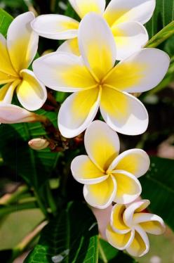 """""""k. Frangipani"""" The frangipani grows widely around the warmer parts of Australia. It has beautiful flowers with a stunning perfume. This decorative tree, with its fragrant scented five petal flowers, conjures up the feel of the tropics, warm summe"""