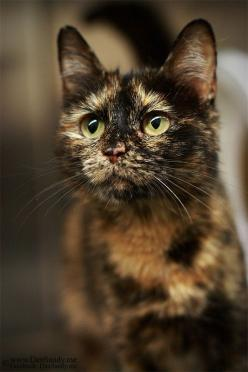 """My kitten is dressed in a tortoise-shell suit and I know you will delight in her."" --William Cowpers: Cats, Tortoiseshell Kitty, Animals Lovers, Beautiful Cats, Amazing Cats, Tortoiseshell Cats, Calicos Cats, Calico Cats And Kittens"