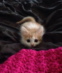 """* * """" Rightz up aheads of meez, der be an Afghanistan blanket."""": Cats, Animals, Kitty Cat, Sweet, Kittens, Baby Cat"""