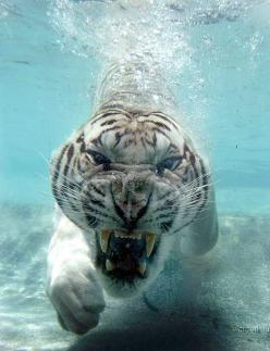 """Soft Kitty Warm Kitty Little ball of fur. Happy Kitty Sleepy Kitty Purr, Purr, Purr."": White Tigers, Picture, Underwater Tiger, Animals, Big Cats, Tigre, Nature, Beautiful, Photography"