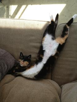 """""""Yes, I is comfy, thanks for asking"""" by chloe mae andersen: Funny Animals, Cats Cats, Kitty Cats, Kitten, Pet, Calico Cats, Chat, Feline, Silly Cat"""