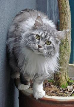 """You may own a cat, but cannot govern one."" --Kate Sanborn: Maine Coons, Kitty Cats, Beautiful Cats, Norwegian Forest Cat, Cute Cat, Maine Coon Cat, Kitty Kitty, Coon Cats, Animal"