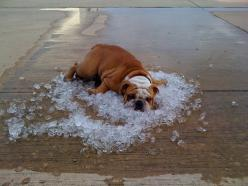 'The Dog Days of Summer' by Will Smith: Tuff, a 10 month old English bulldog from Texas chilling in ice dumped from coolers at the end of a crawfish boil in Conroe, Texas where the temperatures topped near 100 degrees all summer. via whohenstein.m