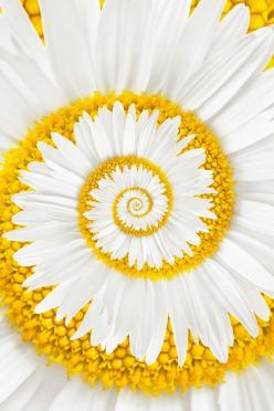 A miracle daisy (photoshop) If you think it's real try to buy the seed.: Spirals, Nature, Art, Daisies, Beautiful Flowers, Bloom, Yellow, Miracle Daisy, Garden
