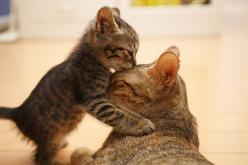 A mother and her kitten: Cats, Kiss, Kitten, Animals, Sweet, Love You, Baby, Kitty