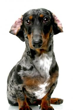 A very dapper Dapple - but those ears look like they need to be returned to factory settings!: Daschund, Dachshund, Doxie Doggies, Doxies Hot Dog, Animal