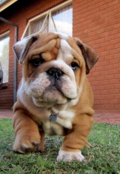 ahhhh so fat look at those rolls   ...........click here to find out more     http://googydog.com: Animals, Bulldog Puppies, Englishbulldog, So Cute, Pet, English Bulldogs, Bull Dogs