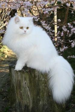 All cats are elegant. --John Weitz #showmecats #thecutie: Kitty Cat, Animals, Beautiful Cats, White Cats, Pretty Cat, Persian Cats, Kittens, Chat