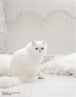 all white...  I have always wanted a pure white kitty: Animals, Kitty Cat, Kitten, Pure White, White Cats, Kitty Kitty, Persian Cat, Things White, Snow White