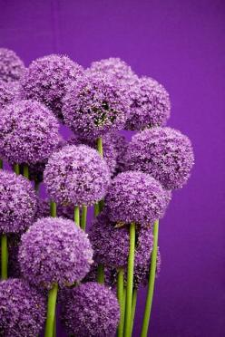 Allium: European folklore ascribed magical properties to the ornamental onion.The plant was used for good luck and protection against demons.: Purple Allium, Colors, Purple Flowers, Purple Passion, Beautiful Flowers, Color Purple, Things Purple, Garden