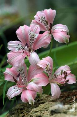 Alstroemeria lilly... this is my favorite flower, and yet never saw this particular one!  Oh, its gorgeous!: Pink Flower, Flower Gardens, Beautiful Flowers, Pretty Flowers, Alstroemeria Flower, Flowers Garden, Pink Alstroemeria, Favorite Flower