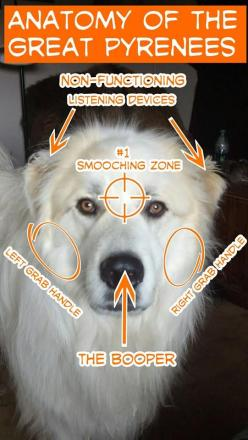 Anatomy of the Great Pyrenees- Daisy may only be half Pyrenees, but she has quite a bit of this anatomy. I love the handles and non-functioning listening devices!: Pyrenees Dogs Cats, Animals, Anatomy, Greatpyrenees, Great Pyrenees Dogs, Dogs Pets, Great
