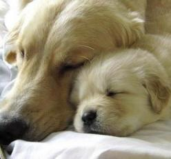 And someday when you grow up, you'll really run like the wind with your special person, but for now, it's just a dream.: Animals, Dogs, Sweet, Mother, Golden Retrievers, Pet, Puppy, Baby, Friend