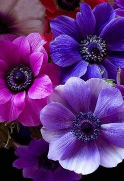 Anemone, Pink and Purple Flowers | A1 Pictures: Color, Purple Flowers, Anemone Flower, Purple Passion, Beautiful Flowers, Bloom, Flowers, Garden, Anemones
