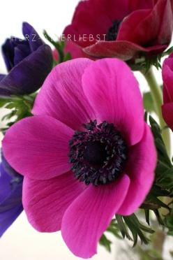 Anemone SUCH A SHAME THAT SUCH A MAGNIFICENT FLOWER HAS A NAME WHICH SOUNDS  LIKE 'AN ENEMY!!': Anemonen Flowers, Flora, Color, Beautiful Flowers, Flowers Garden, Photo, Anemones