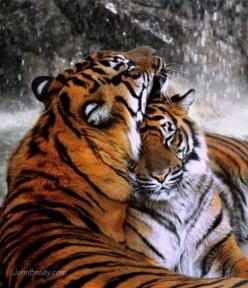 : Animals, Big Cats, Tigre, Nature, Wildcat, Bigcats, Beautiful, Tigers, Wild Cats