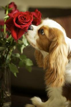 Any breed can be found in a shelter or rescue.  Just research and look for them.  Don't buy when dogs are being killed in shelters every day.: Animals, Dogs, Cavaliers, Roses, Puppy, Cavalier King Charles, Valentine, King Charles Cavalier, King Charle