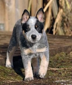 Australian Cattle Dog, Also Known as the Blue Heeler and Red Heeler: Heeler Dogs, Australian Cattle Dog, Blue Heeler, Cattle Dogs, Baby, Acd, Cattledogs, Animal