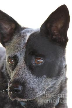 Australian Cattle Dog: Australian Heelers, Blue Healer, Acd S, Australiancattledogs, Australian Cattle Dog, Blue Heeler, Red Heeler