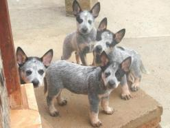 australian cattle dog blue heeler - Google Search: Awesome Dogs, Animals Reptiles, Blue Healer, Acd S, Acd Puppies, Blue Heeler, Acd Obsession, Animals Cuteness
