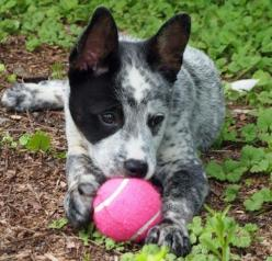 AUSTRALIAN CATTLE DOG/BLUE Heeler,  perfect.: Australian Cattle Dogs, Blue Healer, Eye Patch, Austrailian Cattle Dog Puppy, Blue Heelers, Australian Cattle Dog Puppy, Cattledogs, Animal