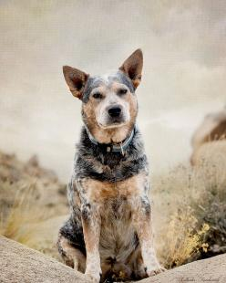 Australian Cattle Dog - Like our Webster!  :-): Australian Cattle Dogs, Cattle Dogs ️, Doggies, Acd S, Blue Heeler, Cattle Dogs Just, Man, Friend, Australian Cattledogs