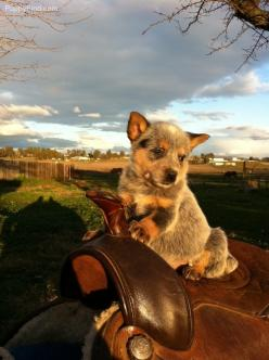 Australian Cattle Dog PUPPY -   someday, I'll be bigger....then,  I'll get down off this horse & start  working, like mom & dad  :): Australian Cattle Dogs, Cowboy, Aussie Cattle, Blue Heeler, Blueheelers, Cattledogs, Cow Dogs, Animal