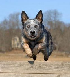 Australian Cattle Dog   This so looks like Ziggy when he is locked on to a squirrel.: Animals, Acd S, Blue Heelers, Australian Cattle Dog, Food Network/Trisha, Cattle Dogs, Cattledogs