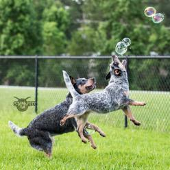 Australian Cattle Dogs/Blue Heelers Playing With Bubbles..: Blue Heeler Puppy, Heelers The, Blue Heeler Dogs, Healers Heelers, Heelers Playing, Blue Heelers, Blue Red Heelers Friends, Australian Cattledogs Heelers