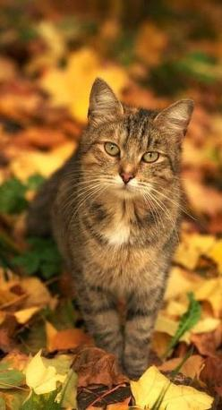 Autumn glory and this pretty little cat with its own autumn colors, only enhances the scene.: Cats, Beautiful Cat, Kitty Cat, Autumn Leaves, Pretty Cat, Kitty Kitty, Autumn Cat, Animal