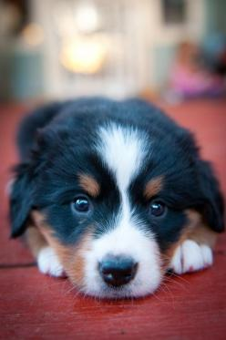Bernese Mountain Dog.: Face, Animals, Bernese Mountain Dogs, Sweet, Pets, Puppys, Puppy, Box