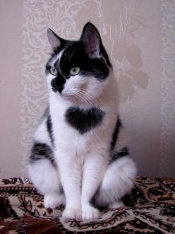 """black and white """"heart"""" cat: Kitty Cats, Animals, Kitten, Heart Cat, Pet, Kitty Kitty, Kitties, Valentine"""
