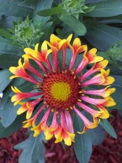 Blanket Flower – Daisy-like flowers are red with yellow margins blooming in June through October. Plants grow 10 to 14 inches tall with gray-green, hairy leaves. Grows best in full sun in well-drained soil. Plants attract butterflies. Deer resistant. Phot