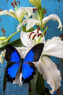 ~~ Blue Butterfly on White Tiger Lily by Garry Gay~~: White Tigers, Beautiful Butterflies, Blue Butterflies, Beautiful Blue, Tiger Lilies, Blue Butterfly, Garry Gay