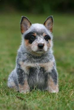Blue Heeler, Australian Cattle Dog SO CUTE!!!: Animals, Pet, Blue Heelers, Australian Cattle Dog, Puppy, Cattle Dogs
