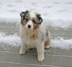 Blue Merle Australian Shepherd Puppy..if i can't get my english bulldog.. i guess i'd settle for her.: Australian Shepherd Puppy, Dogs Aussies, Pups Aussies, Australian Shepherd Blue Merle, Australian Shepherds Puppy, Blue Merle Australian Shepher