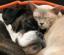 #Boxer & Cat !!!: Cats, Dogs, Sweet, Adorable Animals, Pets, Animal Friends, Boxers, Photo, Furry Friends