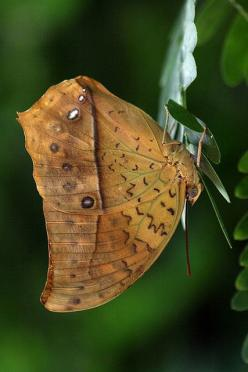 ~~Butterfly or Leaf by Cal Holman~~: Amazing Insects, Butterflies Caterpillar, Butterflies Dragonflies Moths, Butterflys Moths Dragonflys, Butterflies, Butterflies Moths Dragonflies, Butterfly Moths, Flutterby