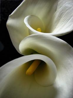 Calla Lilies Nice shot! I've always loved the callas and white on black is beautiful!  Keep shooting those petals.: Fave Flower, Photos, Art, White Calla Lilies Flowers, Flors Flowers, Calla Lily, Favorite Flower, Mahinax3Ilybby Photobucket