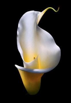 Calla Lily, Mother Nature: Calla Lilies, Color, Beautiful Flowers, Garden, Photo, Calla Lillies, Black, Calla Lily, Favorite Flower