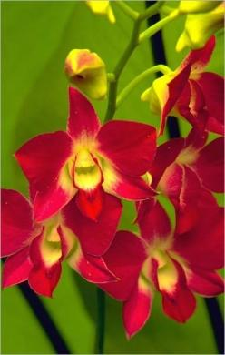 Caring for Orchids - Types of Orchids and Growing or Planting an Orchid Garden: Orchids Red, Orchid, Dendrobium Orchids, Beautiful Flowers, Gardens, Red Orchids, Favorite Flower