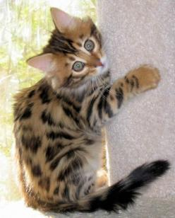 cashmere bengal kitten. I WILL have this! Crazy cat lady times, here I come! Lol: Bengal Cats, Bengal Cat Kitten, Bengal Kittens, Crazy Cat, Cashmere Bengal, Kittens Cats, Cats Kittens Yes, Animal, Cats Kittens Kittys