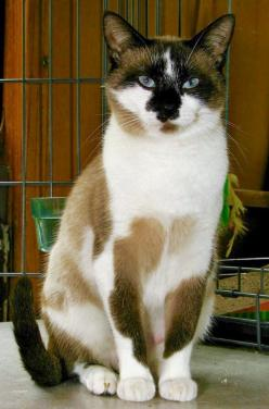cat ~ beautiful markings: Cool Cats, Kitty Cats, Beautiful Cats, Cats ️, Pretty Cats, Cats Kits, Kittens Cats Oh, Unusual Cats