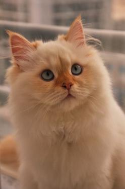 """Cat ❁❁❁Thanks, Pinterest Pinners, for stopping by, viewing, pinning, & following my boards. Have a beautiful day! And""""Feel free to share on Pinterest""""✮✮"""" #homes #fashion #goodfood www.organicgardenandhomes.com: Котики Cats, Cats Meow, Beautiful Ca"""