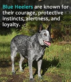 Characteristics of Australian cattle dog or blue heeler: Australian Cattle Dogs, Blue Heeler Dogs, Blue Heelers Dogs, Cattle Dog Blue Heeler, Australian Cattle Dog Puppy, Australian Cattle Dog Puppies, Australian Blue Heeler, Cattledogs