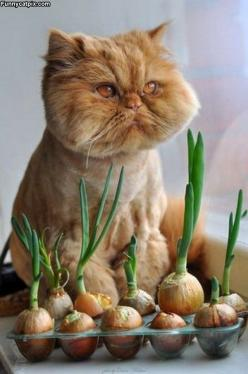Crying with laughter or onions ? One of the ugliest cats I have ever seen!! But makes me laugh!: Face, Kitty Cats, Onions, Animals, Dogs, Funny Cats, Pet, Kitty Kitty, Photo