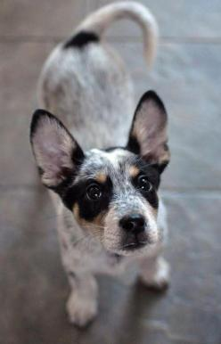 . cute dogs @✔ b l a c k w h i t e: Animals, Australian Cattle, Pet, Blue Heelers, Heeler Puppy, Puppys, Adorable, Cattle Dogs